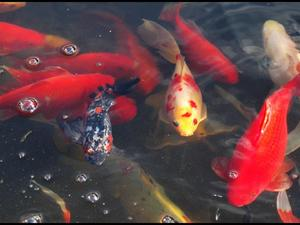 Other hobbies for Expensive koi for sale